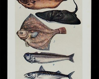 1910 Fishes Antique print, fish print, ray,  seafood, flatfish, 105 years old antique print