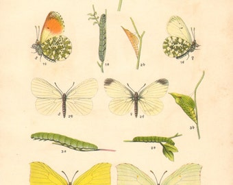 1913 Butterflies, Orange Tip, Wood White, Common Brimstone, Moorland Clouded Yellow Original Antique Lithograph