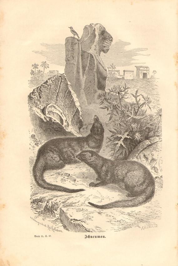 1877 Egyptian Mongoose or Ichneumon - Herpestes ichneumon Original Antique Engraving