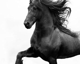 Black Friesian Prances - Fine Art Horse Photograph - Horse - Friesian - Fine Art Print - Black and White