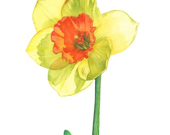 Daffodil print of watercolor painting, A3 size, D13716, Daffodil watercolour painting print, Daffodil painting print. Botanical art
