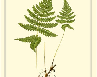 NORTHERN BEECH FERN High resolution botanical digital file instant download 1901 Lindman
