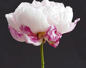 Single Peony Photo Notecard