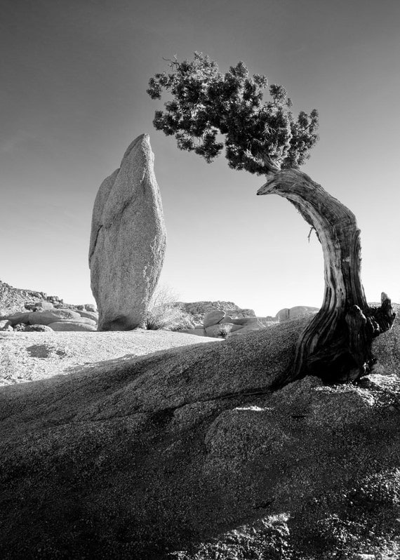 ansel adams pine tree - photo #7