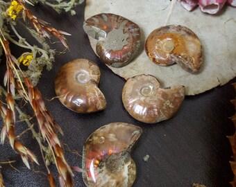 opalized ammonite specimens