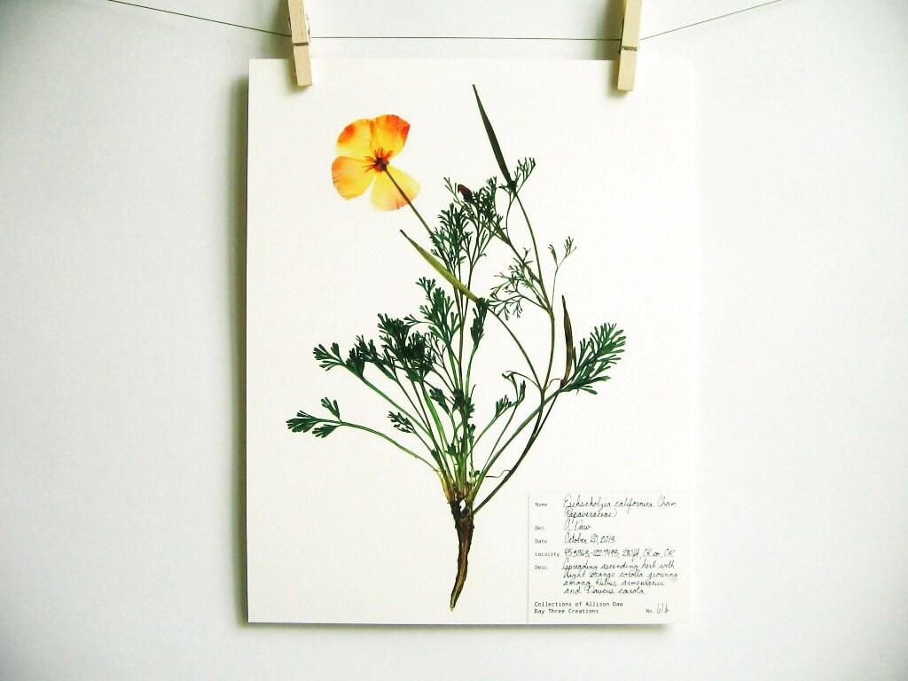 california poppy drucken 61 b orange wildblumen kunst. Black Bedroom Furniture Sets. Home Design Ideas