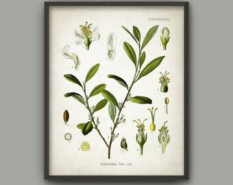 Cocaine Drug Plant Print - Coca Plant - Vintage Botanical Decor - Antique Drug Poster - Poison Cocaine Poster - Coca Leaf Art Print AB567