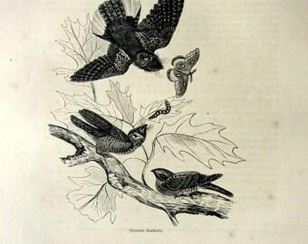 1860 Curious antique Whip-poor-will print, vintage  BIRD engraving, georgous  oddity Nightjars nighthawks birds on black oak moth plate.