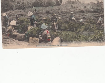 Picking Out The Leaves Of The Tea Plants, Japanese Women, Antique Postcard Unused,C1910