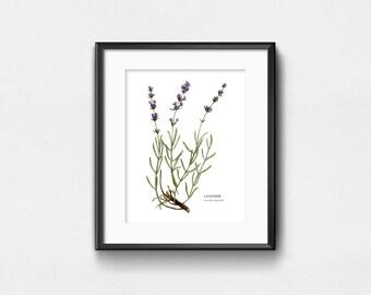 Lavender Plant Art Print | Watercolor Scientific Drawing | Wall Decor | 8x10 | 11x14