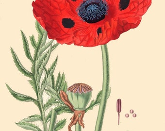 antique french botanical print papaver somniferum opium poppy illustration digital download