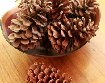 GIANT Longleaf Georgia Pine Cones DOZEN free shipping
