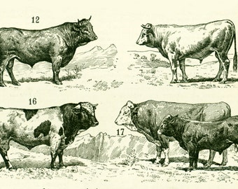 1897 Cattle print Large size, Bulls, Cows, Original Larousse print, French antique 115 years old