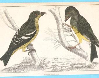 Antique birds (XXXVI - crossbill)  illustration
