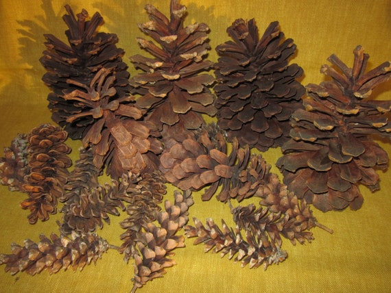 23 assorted pine cones 4 long needle 7 2 5 12 for Long pine cones