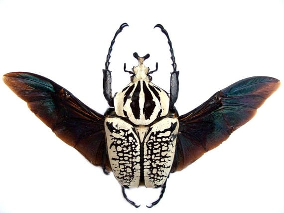Supplies for your artworks - dried insects - :  1 pcs Goliathus orientalis  size 80 mm quality a1 OPEN WINGS free shipping