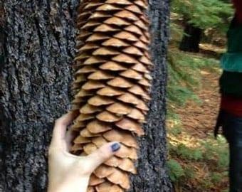 5 Sugar pine cones