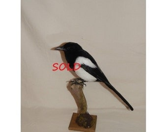 taxidermy magpie, pica pica  , I can make a near excact copy for you.