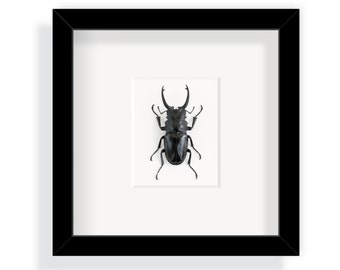 Real beetle in a frame / Stag beetle from Indonesia