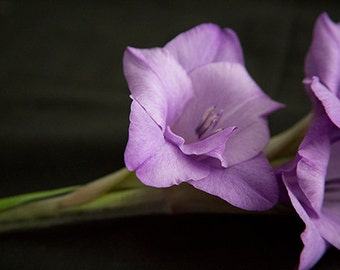 A6 Greeting Card–Mauve Coloured Gladioli-105mm x 148mm(blank inside)-with envelope, photo greetings card, fine art card