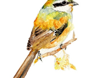 Lanius bucephalus Print - bird watercolor painting