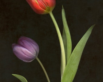 Tulips Two Limited Edition Fine Art
