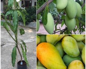 """1 Mango Fruit tree  / Mango Fruit Plant / Sweet fruit   """"Mangifera indica """"  1 Tree/ order"""