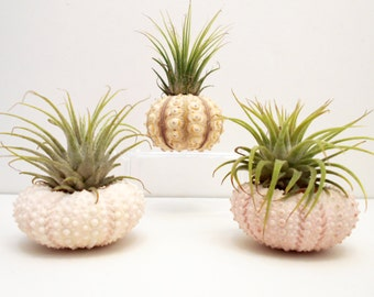 3 Beautiful Air Plants Sea Urchin Sampler Kit Nautical Gift Beach Decor Coastal Planters Tillandsia Seaside Unique Gifts Desk Accessories