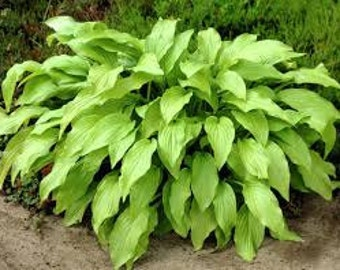 1 Honeybells - Hosta Root / Plant