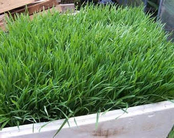 Wheatgrass Liquid Sunshine Organic HEIRLOOM Seeds Large Pack