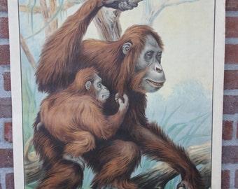 Vintage  Old School Chart Orangutan print