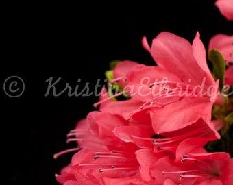 Azalea Pink Photograph  (AzaleaOnBlk)
