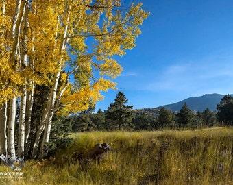 Golden Aspen Grove, Autumn Trees, San Francisco Peaks, Fall Northern Arizona, Fine Art Print
