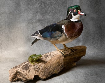 Taxidermy Carolina Wood Duck with frog