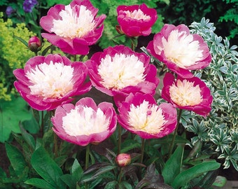 Bowl of Beauty Peony, Pink Peony, Fuchsia Peony, 1 Gallon, 3-5 Eyes, Fragrant, Perennial, Landscape, Border, Attracts Butterflies, Unique