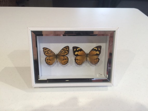 Naturally expired evening brown butterfly male and female in white shadow box frame.