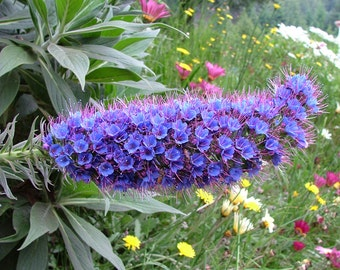 Echium Candicans 15 Seeds, Pride Of Madeira Plants, Perennial Sub Shrub or Garden Bush