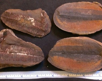 1 Pair of plant fossils AB1