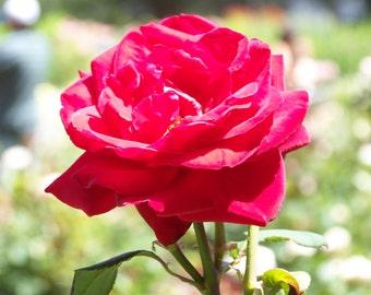 Dark pink tea rose
