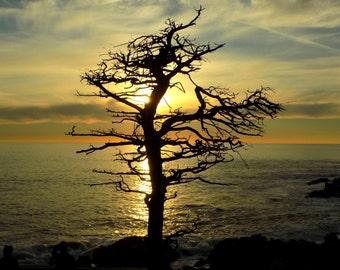 Tree Silhouette Sunset California Coast Ocean Photograph - Fine Art Nature Photography