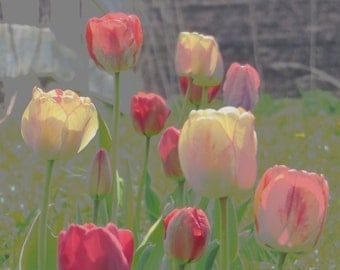 Spring Tulips. Photo Greeting/Note Card. Blank Inside.