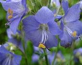 Blue Pearl Jacob's Ladder Flower Seeds/Perennial  70+