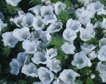 Echium White Bedder Flower Seeds/Plantagineum/Biennial  50+