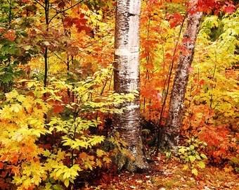 Autumn Foliage, Fall Trees, Vermont Colors, Birch Trees, Vermont Travel Photo, New England Autumn, Fall Wall Decor, Colorful Foliage
