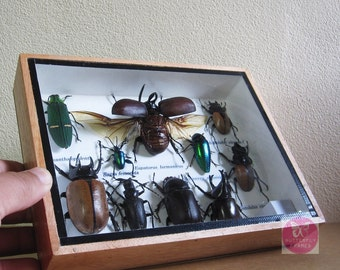 Real 10 Insects & Bugs Taxidermy collection stuff in wooden box 3D frame. Frame code #A 005