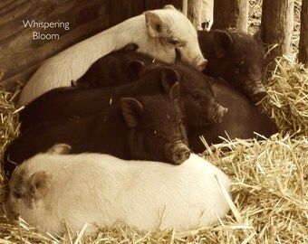 """8x10 Sepia Photo Art - Baby Pigs in Barn - """"Piglet Pile"""""""