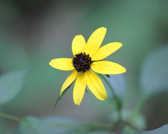 Black-eyed Susan print, wall art, flower photography