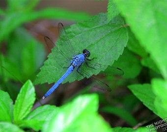 Dragonfly {Photography}