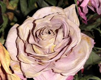 Purple rose frozen in time, download