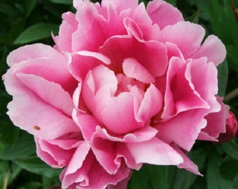 50+ Pink Peony / Long-Lasting Annual Flower Seeds